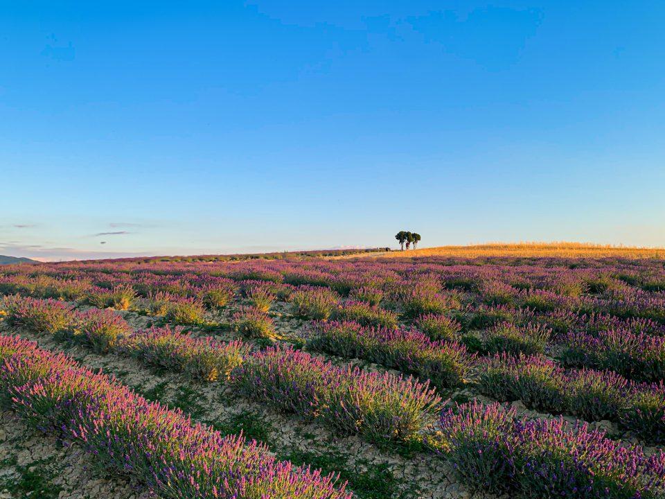 campi di lavanda in toscana colline pisane